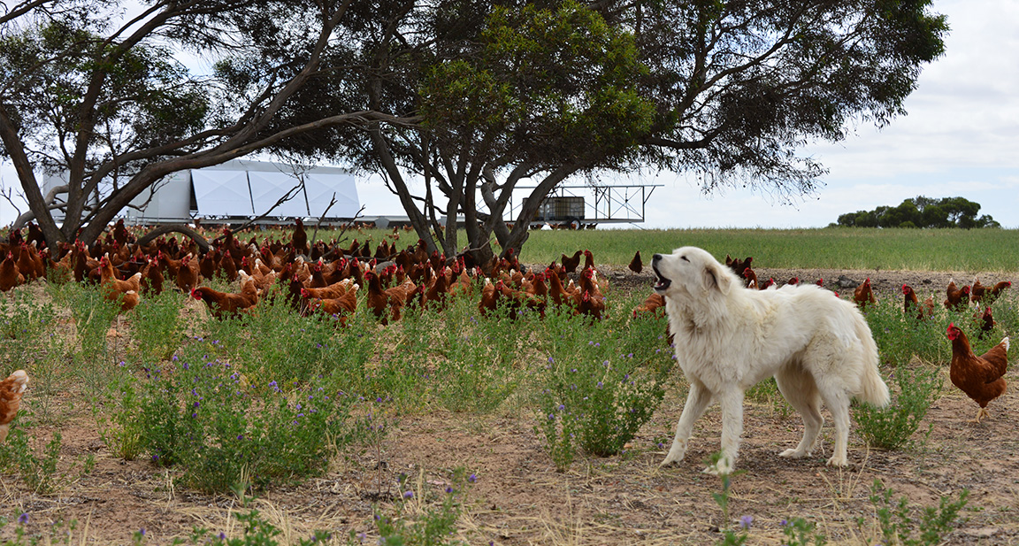 Our chookens are always free to roam