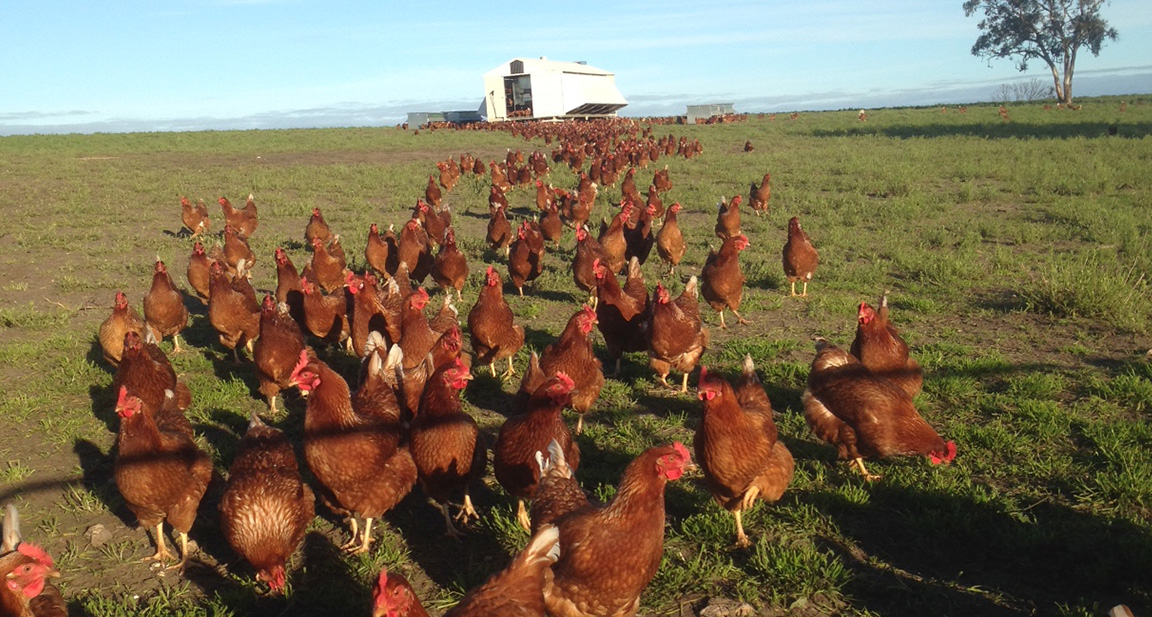 Our eggs are produced by 'NOMADIC CHICKENS'